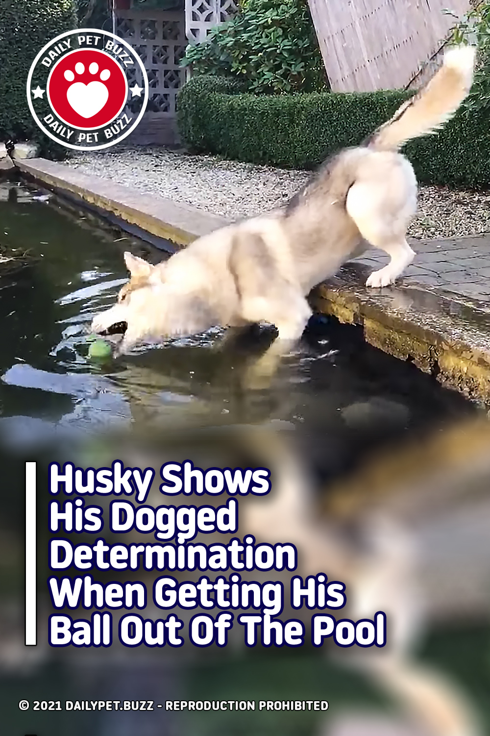Husky Shows His Dogged Determination When Getting His Ball Out Of The Pool