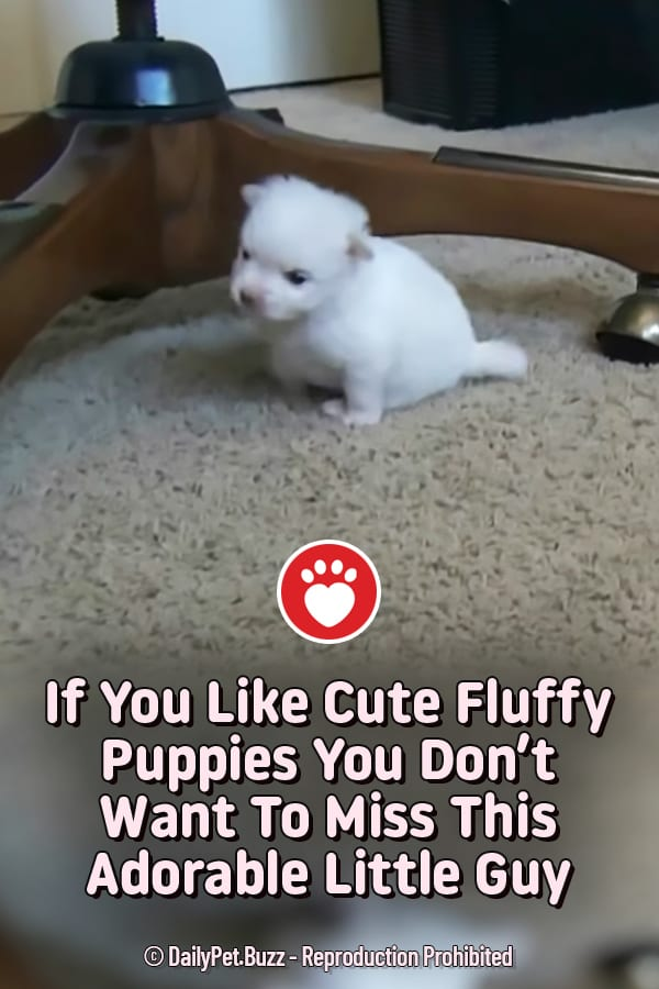 If You Like Cute Fluffy Puppies You Don\'t Want To Miss This Adorable Little Guy