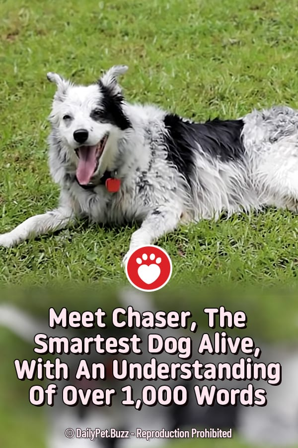 Meet Chaser, The Smartest Dog Alive, With An Understanding Of Over 1,000 Words