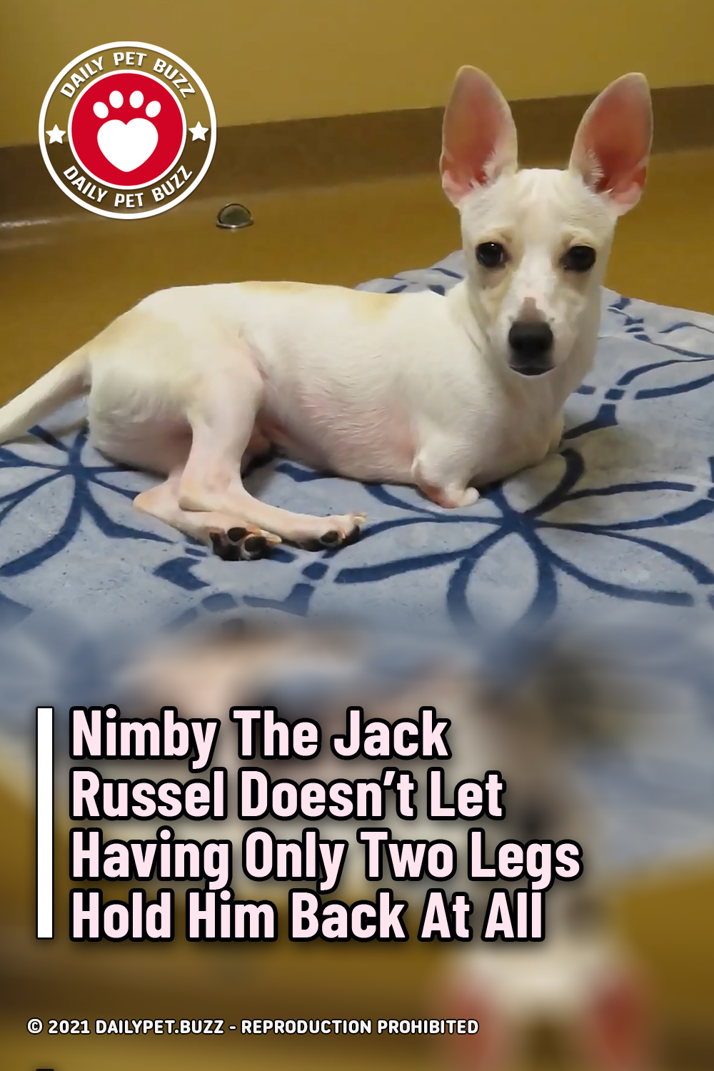 Nimby The Jack Russel Doesn\'t Let Having Only Two Legs Hold Him Back At All