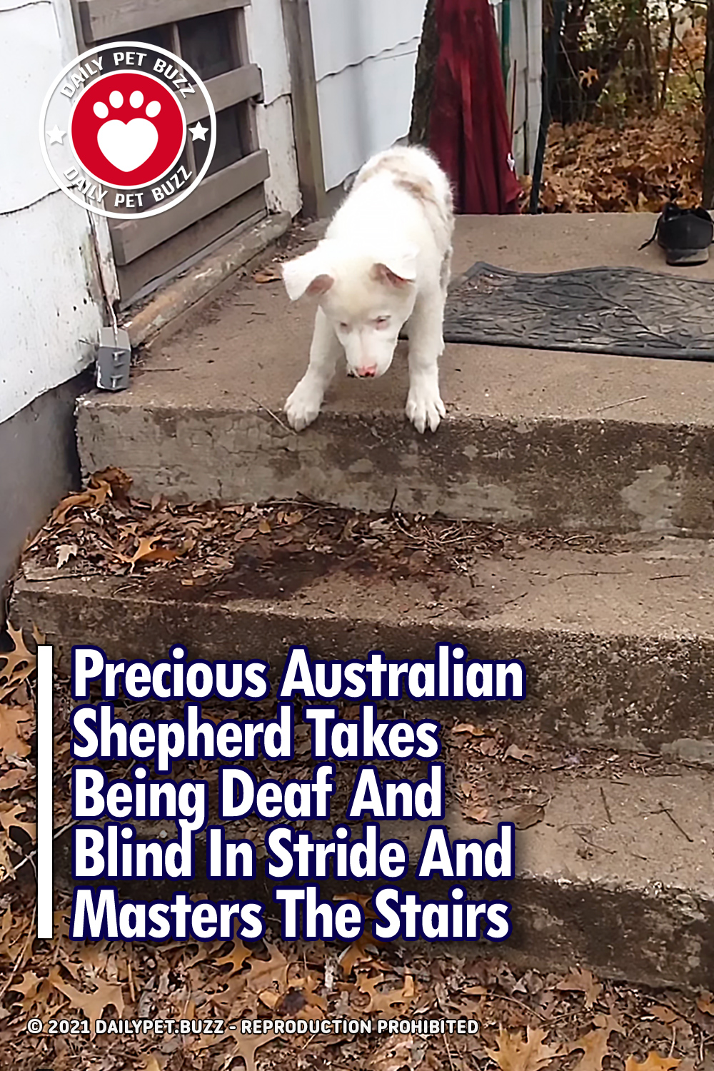 Precious Australian Shepherd Takes Being Deaf And Blind In Stride And Masters The Stairs