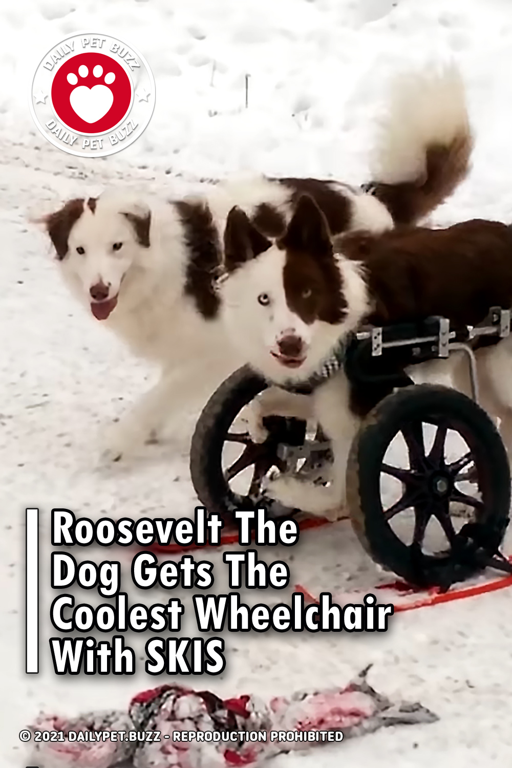 Roosevelt The Dog Gets The Coolest Wheelchair With SKIS