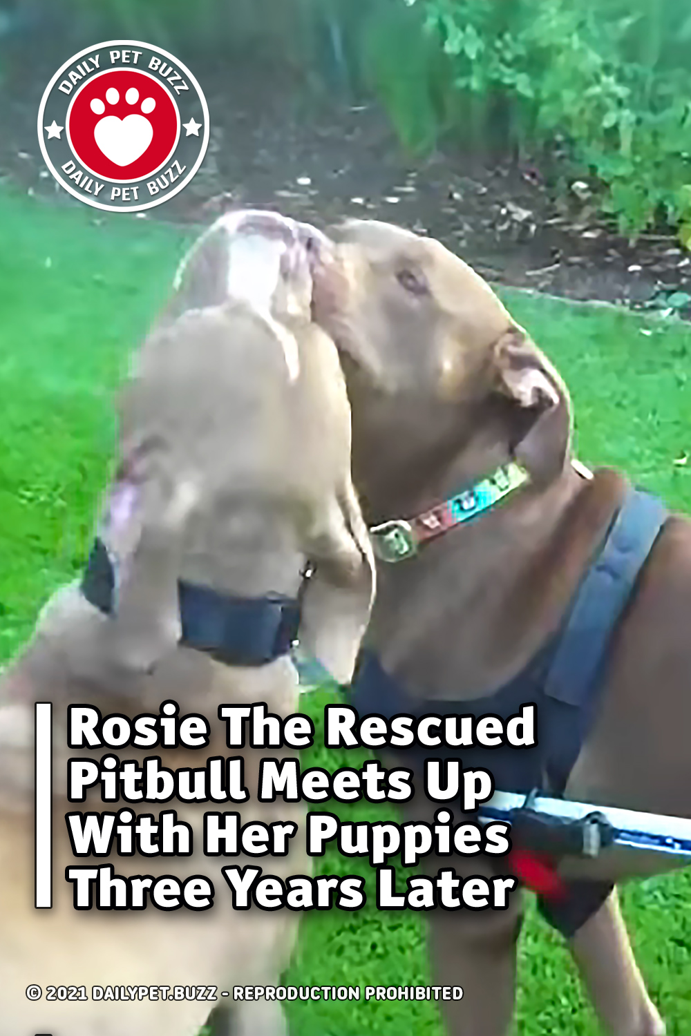 Rosie The Rescued Pitbull Meets Up With Her Puppies Three Years Later