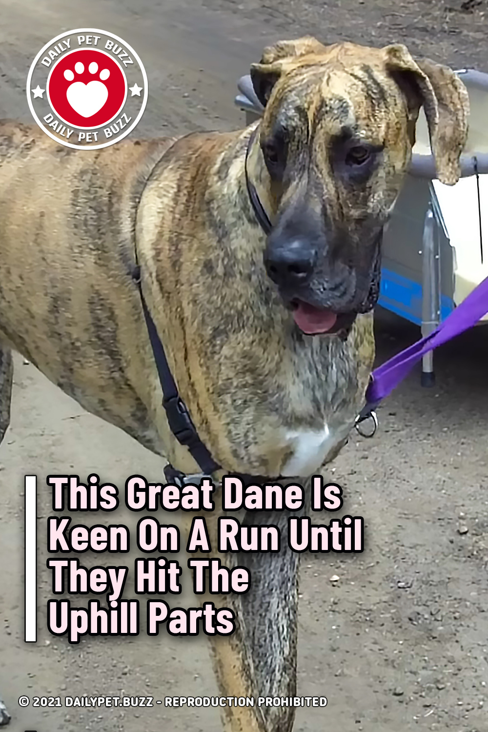 This Great Dane Is Keen On A Run Until They Hit The Uphill Parts