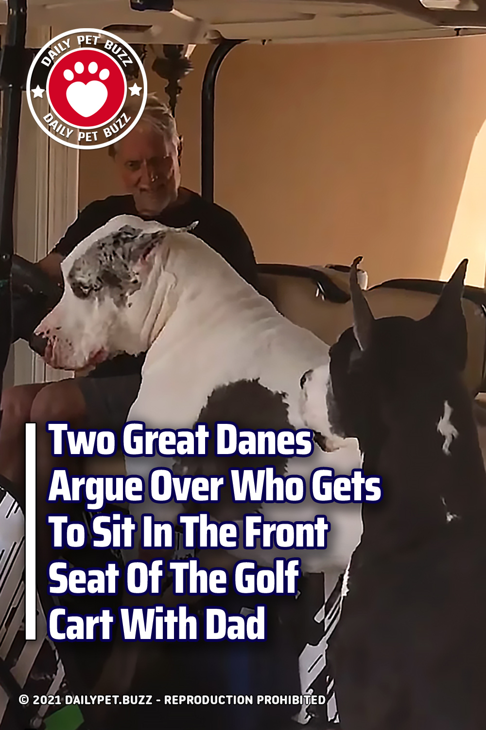 Two Great Danes Argue Over Who Gets To Sit In The Front Seat Of The Golf Cart With Dad