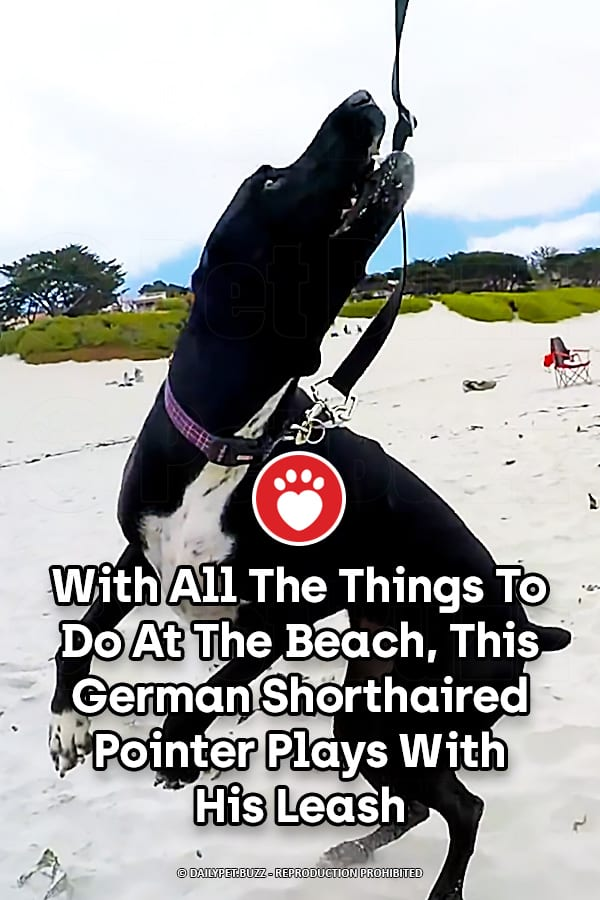 With All The Things To Do At The Beach, This German Shorthaired Pointer Plays With His Leash