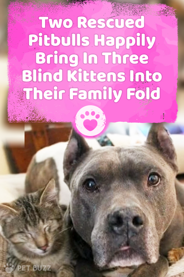 Two Rescued Pitbulls Happily Bring In Three Blind Kittens Into Their Family Fold