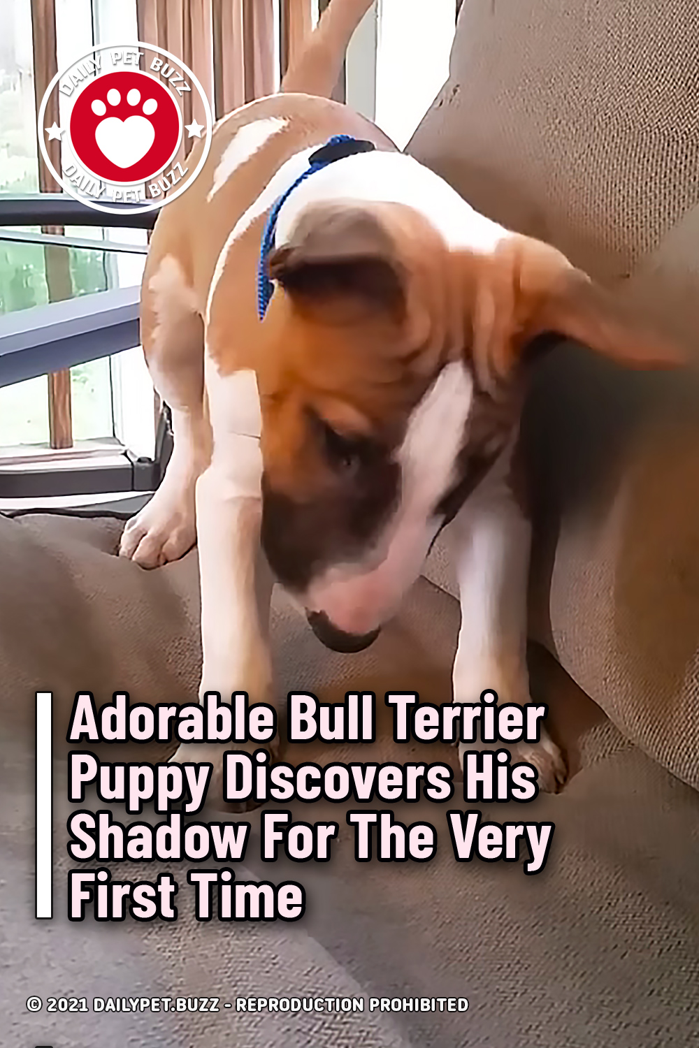 Adorable Bull Terrier Puppy Discovers His Shadow For The Very First Time