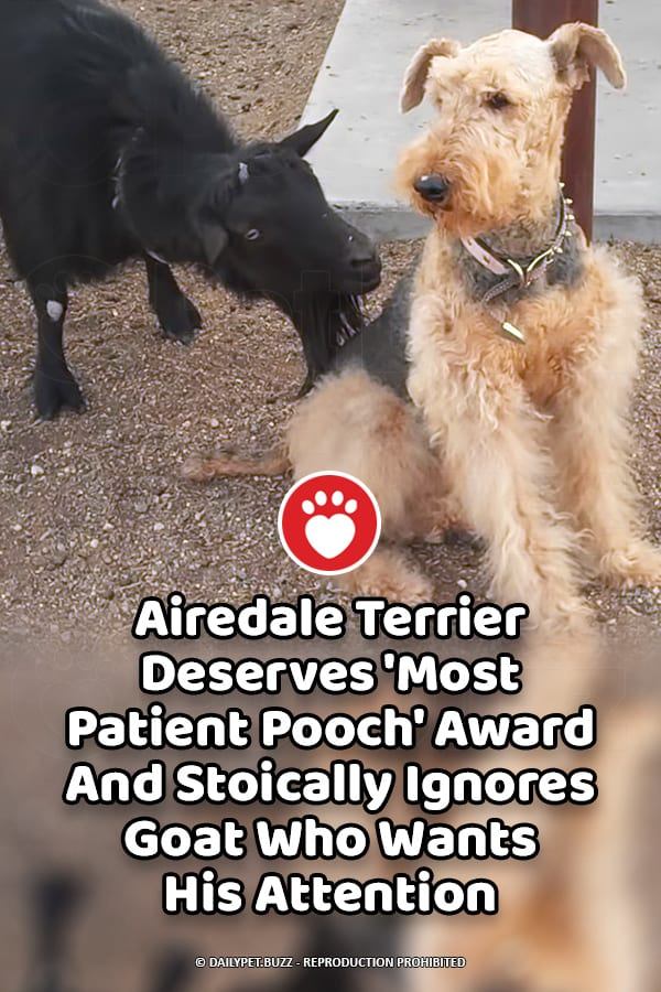 Airedale Terrier Deserves \'Most Patient Pooch\' Award And Stoically Ignores Goat Who Wants His Attention