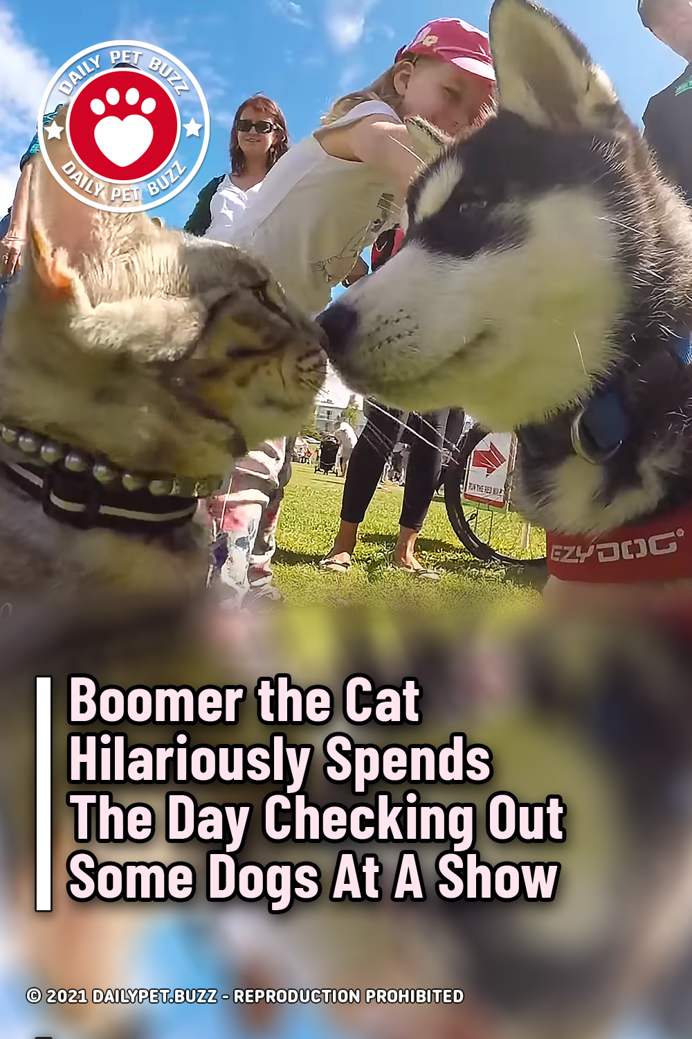 Boomer the Cat Hilariously Spends The Day Checking Out Some Dogs At A Show