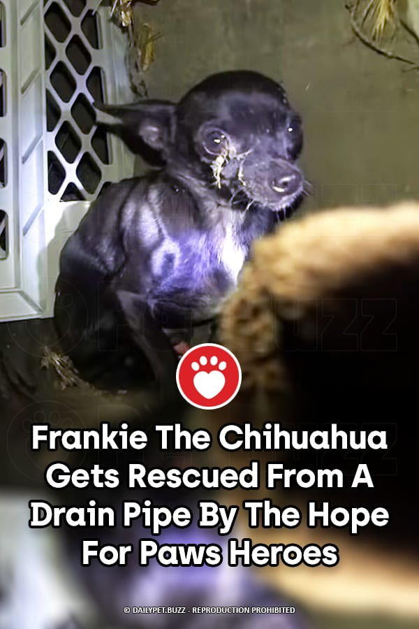 Frankie The Chihuahua Gets Rescued From A Drain Pipe By The Hope For Paws Heroes