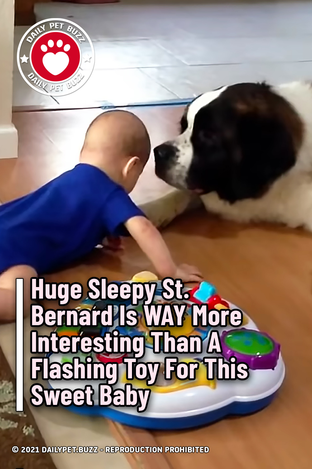 Huge Sleepy St. Bernard Is WAY More Interesting Than A Flashing Toy For This Sweet Baby