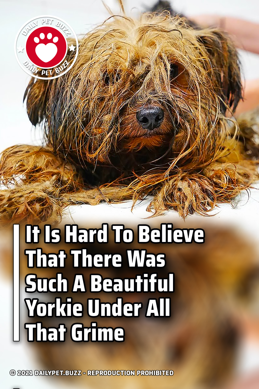 It Is Hard To Believe That There Was Such A Beautiful Yorkie Under All That Grime