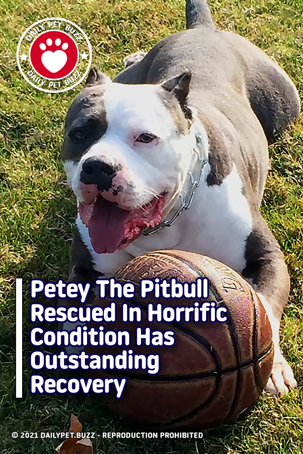 Petey The Pitbull Rescued In Horrific Condition Has Outstanding Recovery