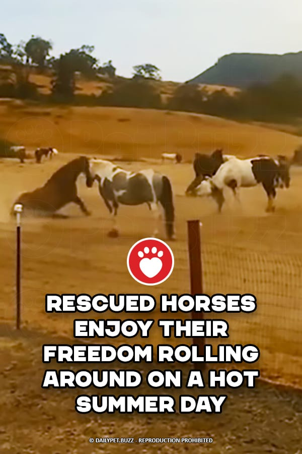 Rescued Horses Enjoy Their Freedom Rolling Around On A Hot Summer Day