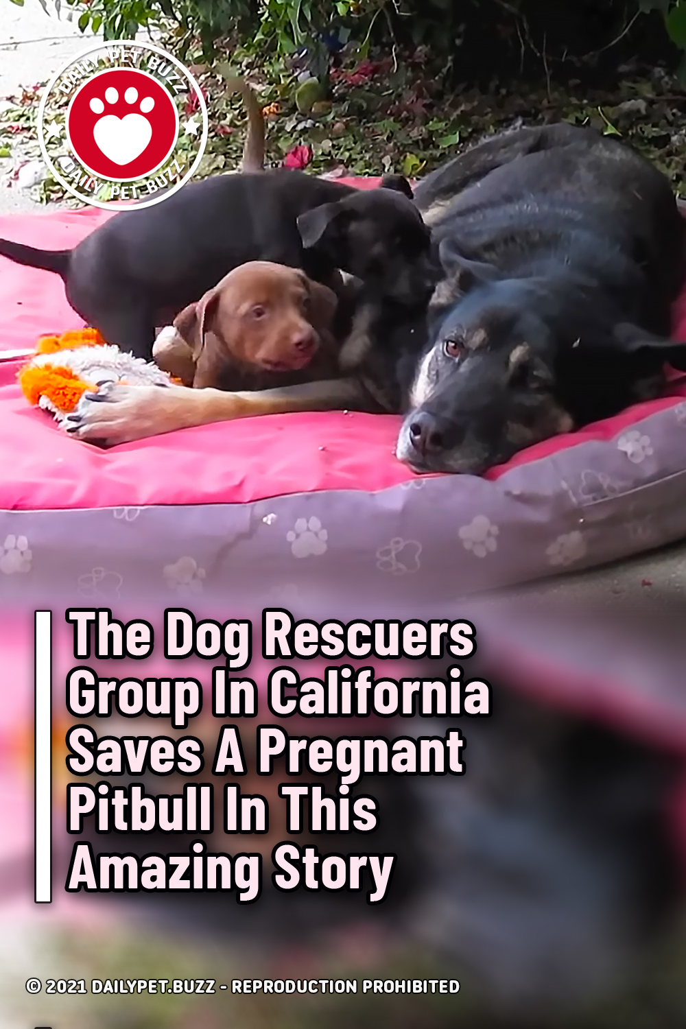 The Dog Rescuers Group In California Saves A Pregnant Pitbull In This Amazing Story