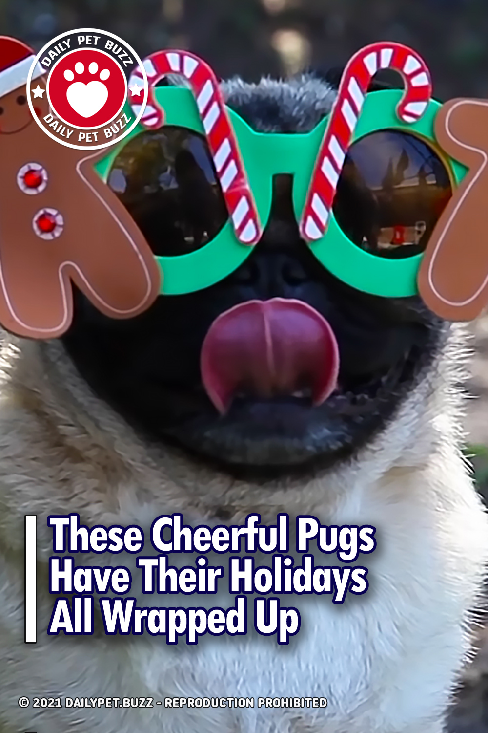 These Cheerful Pugs Have Their Holidays All Wrapped Up