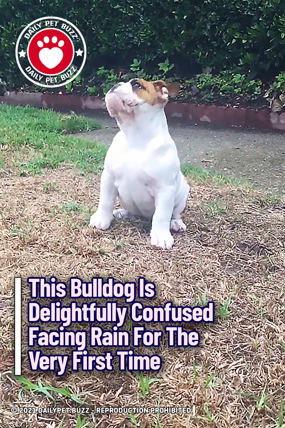 This Bulldog Is Delightfully Confused Facing Rain For The Very First Time