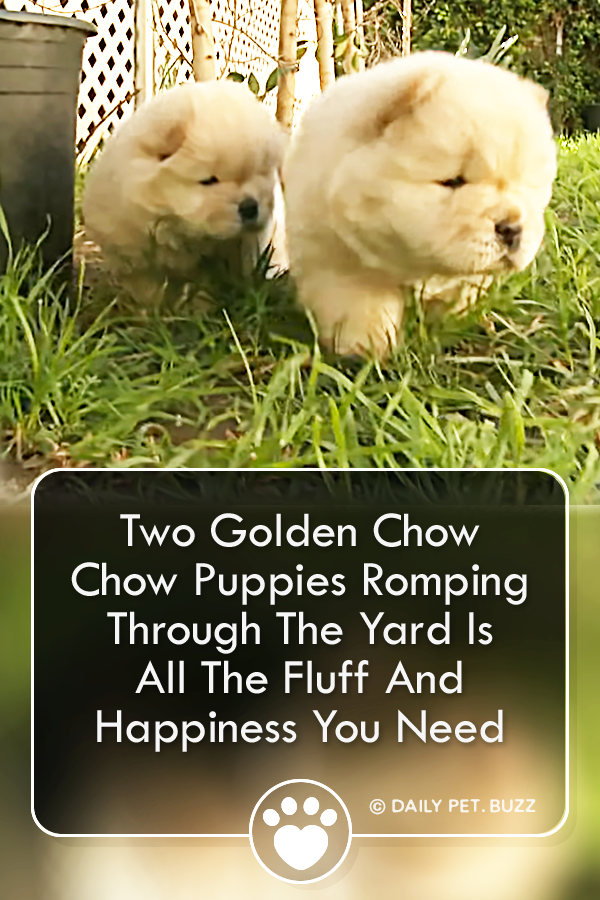 Two Golden Chow Chow Puppies Romping Through The Yard Is All The Fluff And Happiness You Need