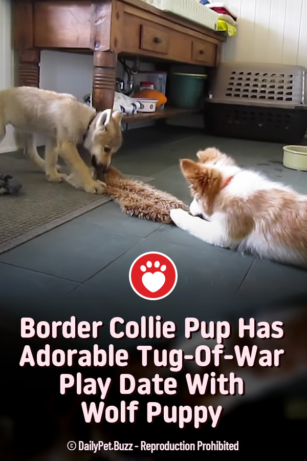 Border Collie Pup Has Adorable Tug-Of-War Play Date With Wolf Puppy