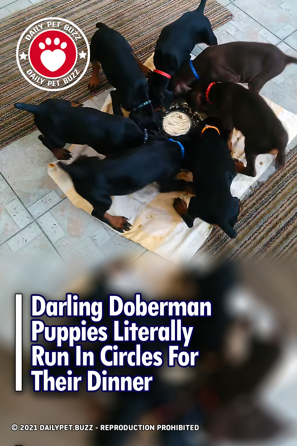 Darling Doberman Puppies Literally Run In Circles For Their Dinner
