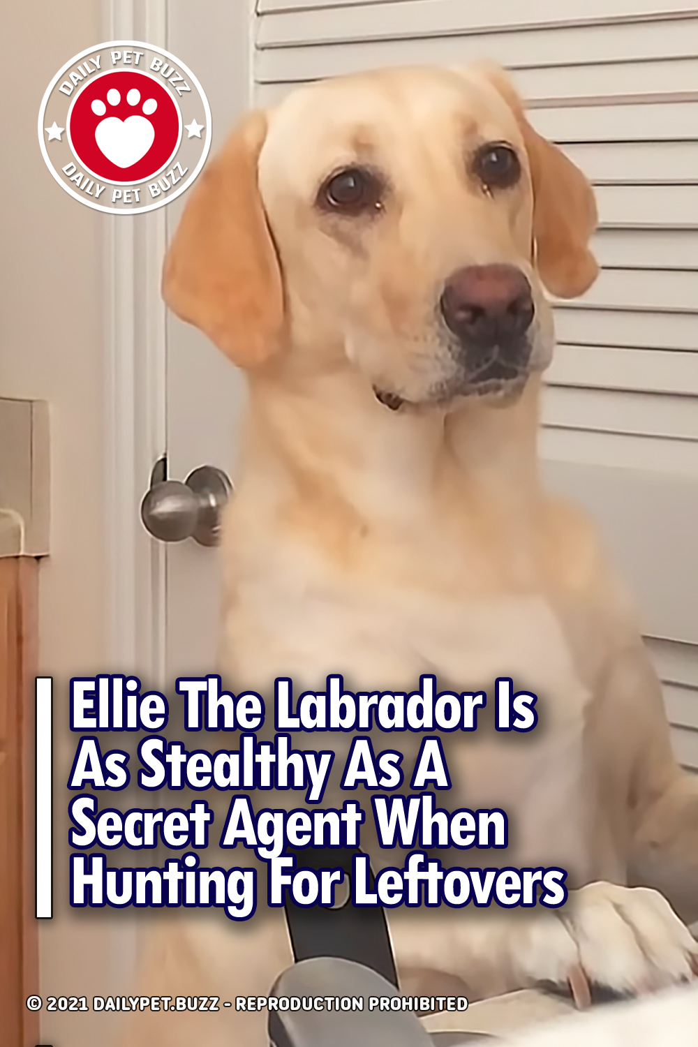 Ellie The Labrador Is As Stealthy As A Secret Agent When Hunting For Leftovers