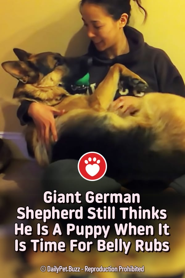 Giant German Shepherd Still Thinks He Is A Puppy When It Is Time For Belly Rubs
