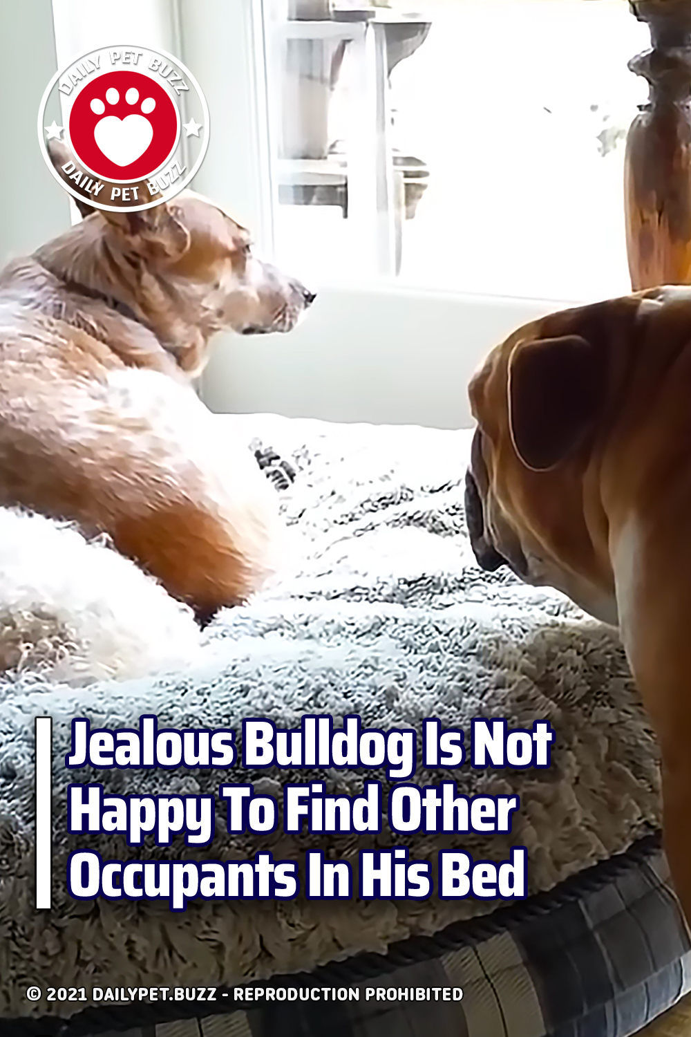 Jealous Bulldog Is Not Happy To Find Other Occupants In His Bed