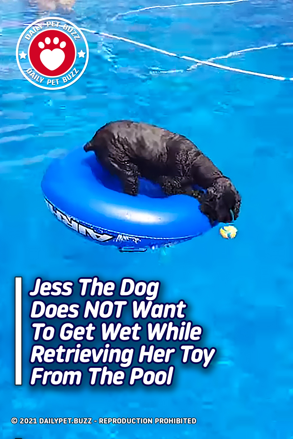 Jess The Dog Does NOT Want To Get Wet While Retrieving Her Toy From The Pool