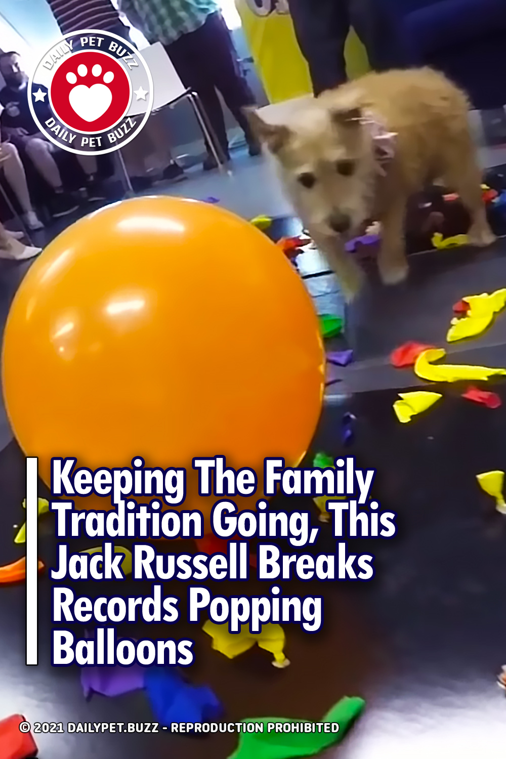 Keeping The Family Tradition Going, This Jack Russell Breaks Records Popping Balloons