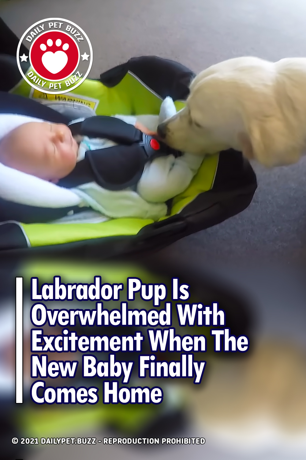 Labrador Pup Is Overwhelmed With Excitement When The New Baby Finally Comes Home