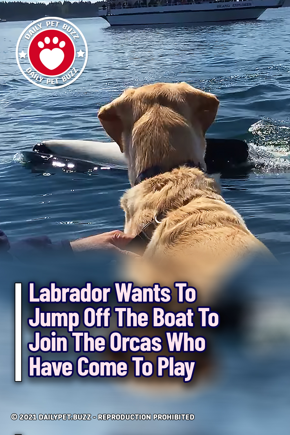 Labrador Wants To Jump Off The Boat To Join The Orcas Who Have Come To Play
