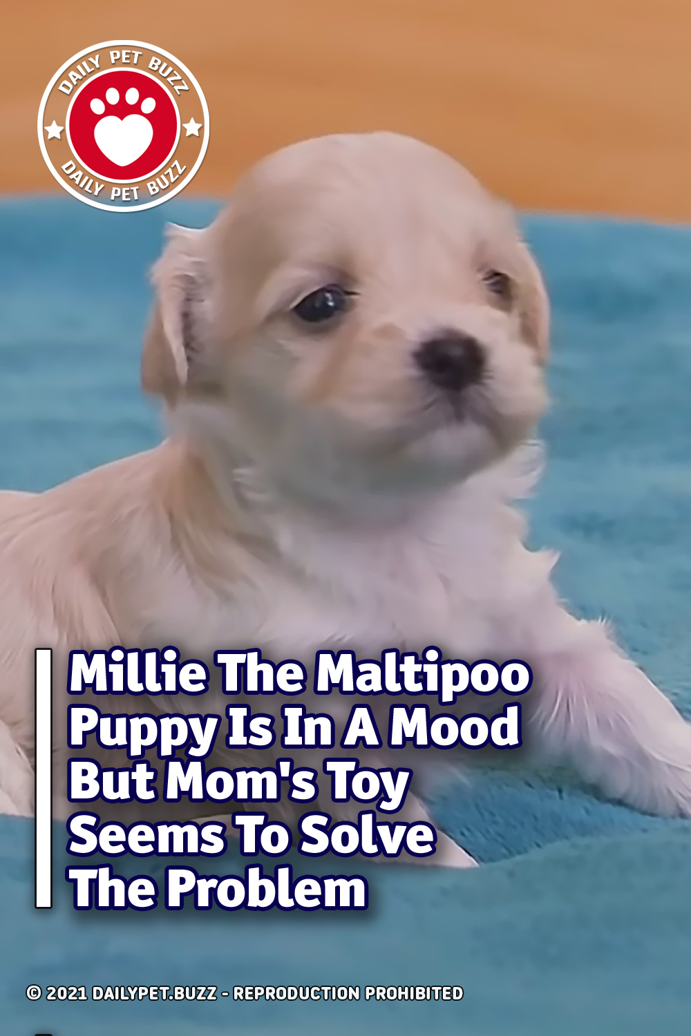 Millie The Maltipoo Puppy Is In A Mood But Mom\'s Toy Seems To Solve The Problem
