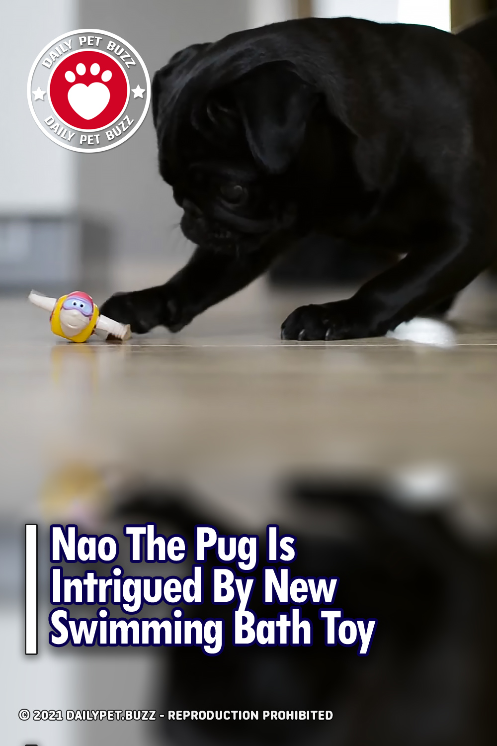 Nao The Pug Is Intrigued By New Swimming Bath Toy