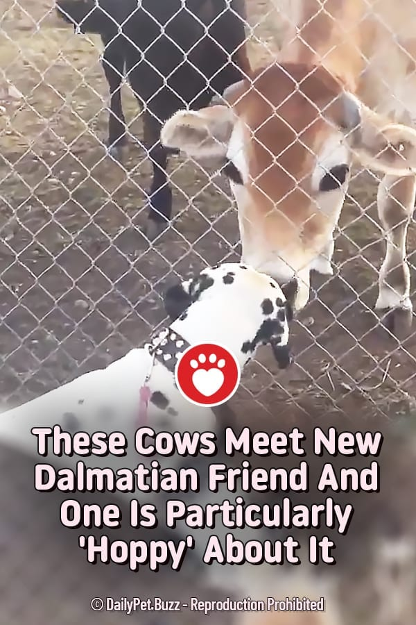 These Cows Meet New Dalmatian Friend And One Is Particularly \'Hoppy\' About It
