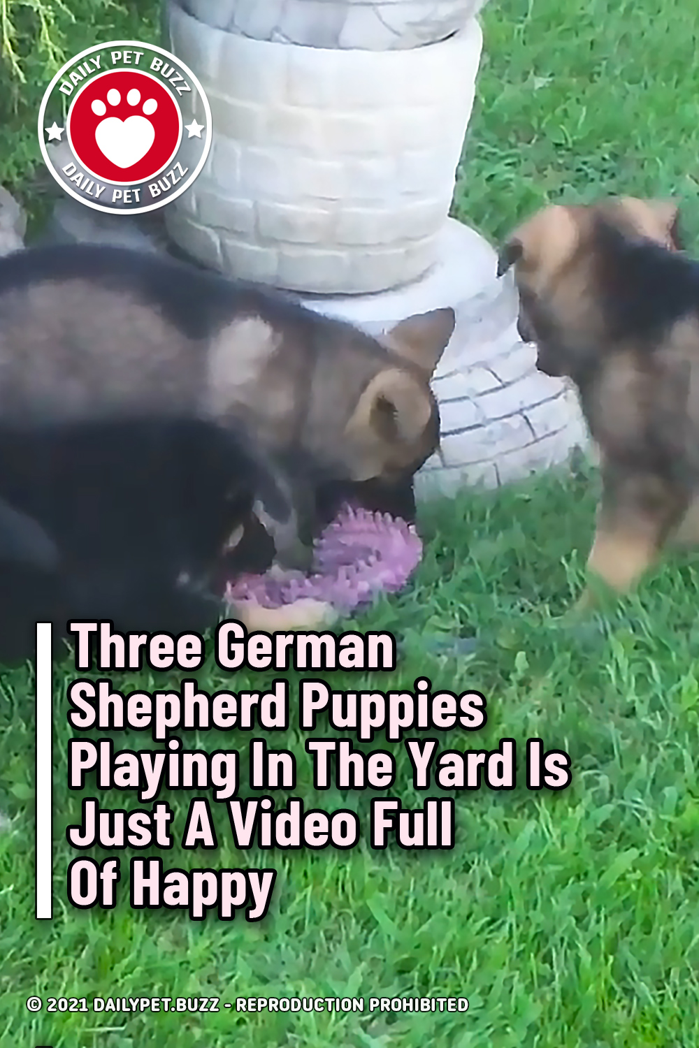 Three German Shepherd Puppies Playing In The Yard Is Just A Video Full Of Happy