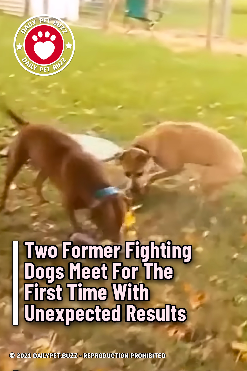 Two Former Fighting Dogs Meet For The First Time With Unexpected Results