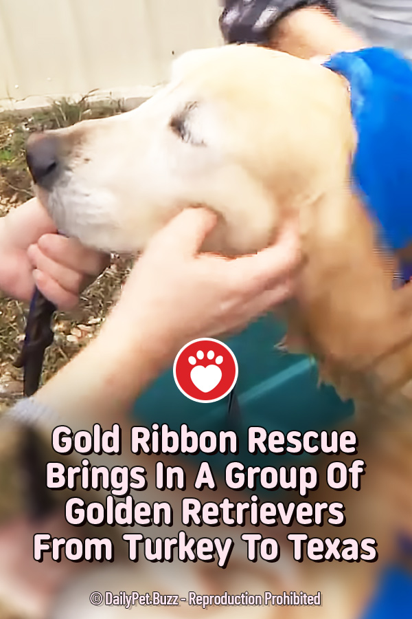 Gold Ribbon Rescue Brings In A Group Of Golden Retrievers From Turkey To Texas