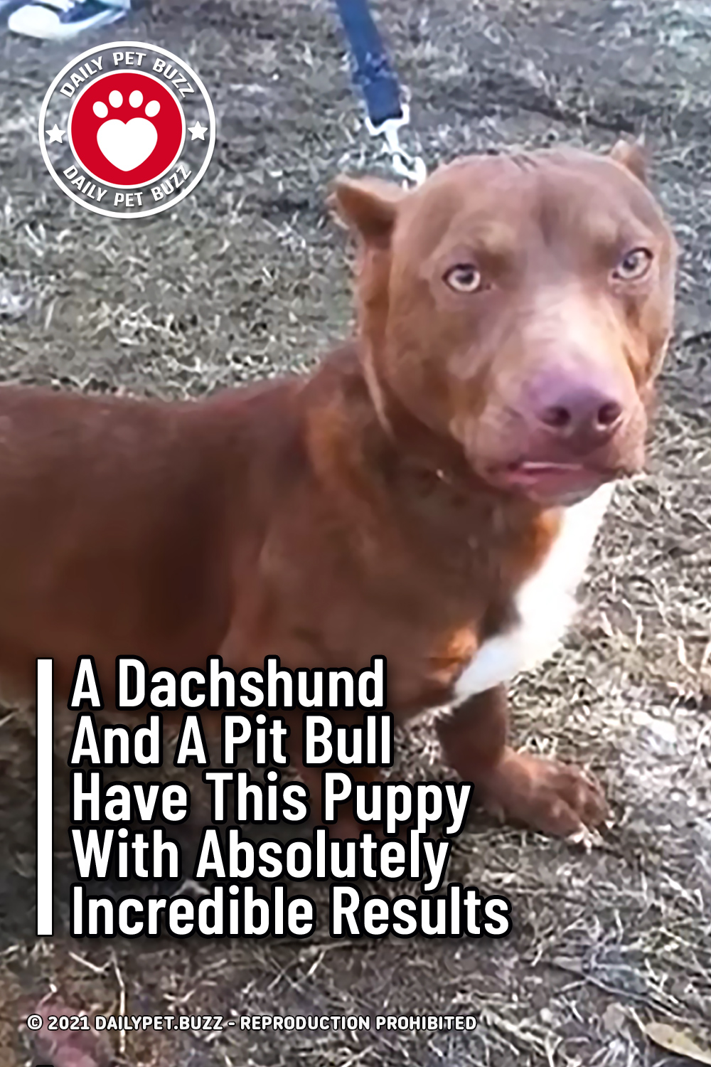 A Dachshund And A Pit Bull Have This Puppy With Absolutely Incredible Results