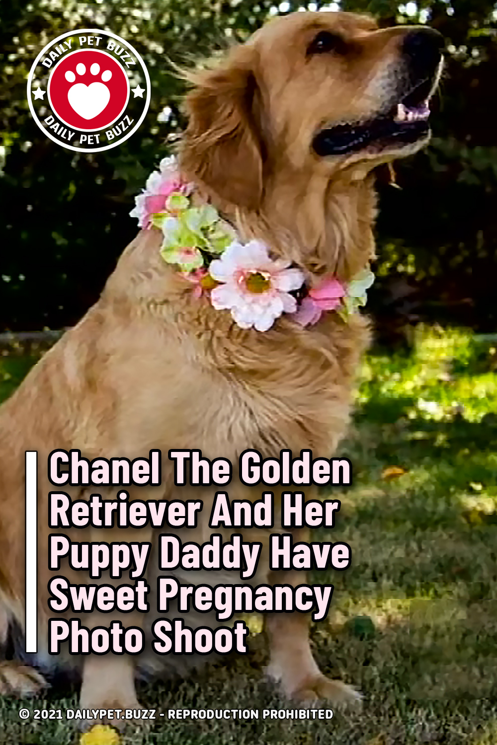 Chanel The Golden Retriever And Her Puppy Daddy Have Sweet Pregnancy Photo Shoot