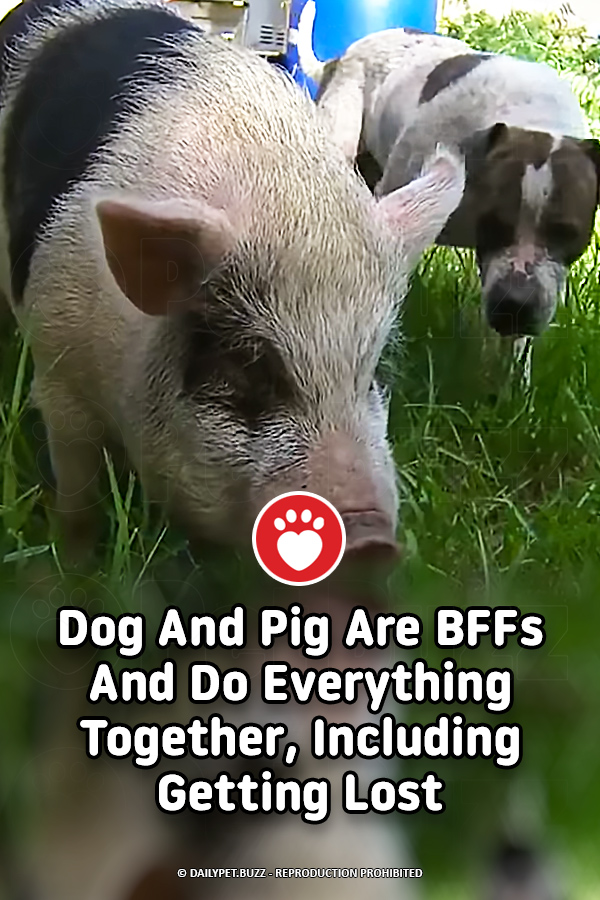 Dog And Pig Are BFFs And Do Everything Together, Including Getting Lost