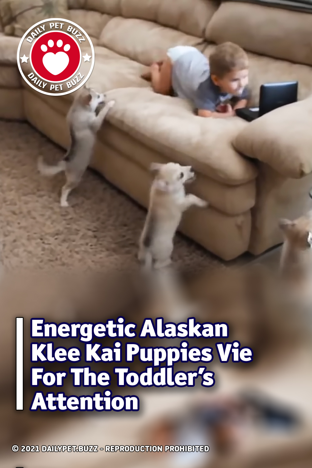 Energetic Alaskan Klee Kai Puppies Vie For The Toddler\'s Attention