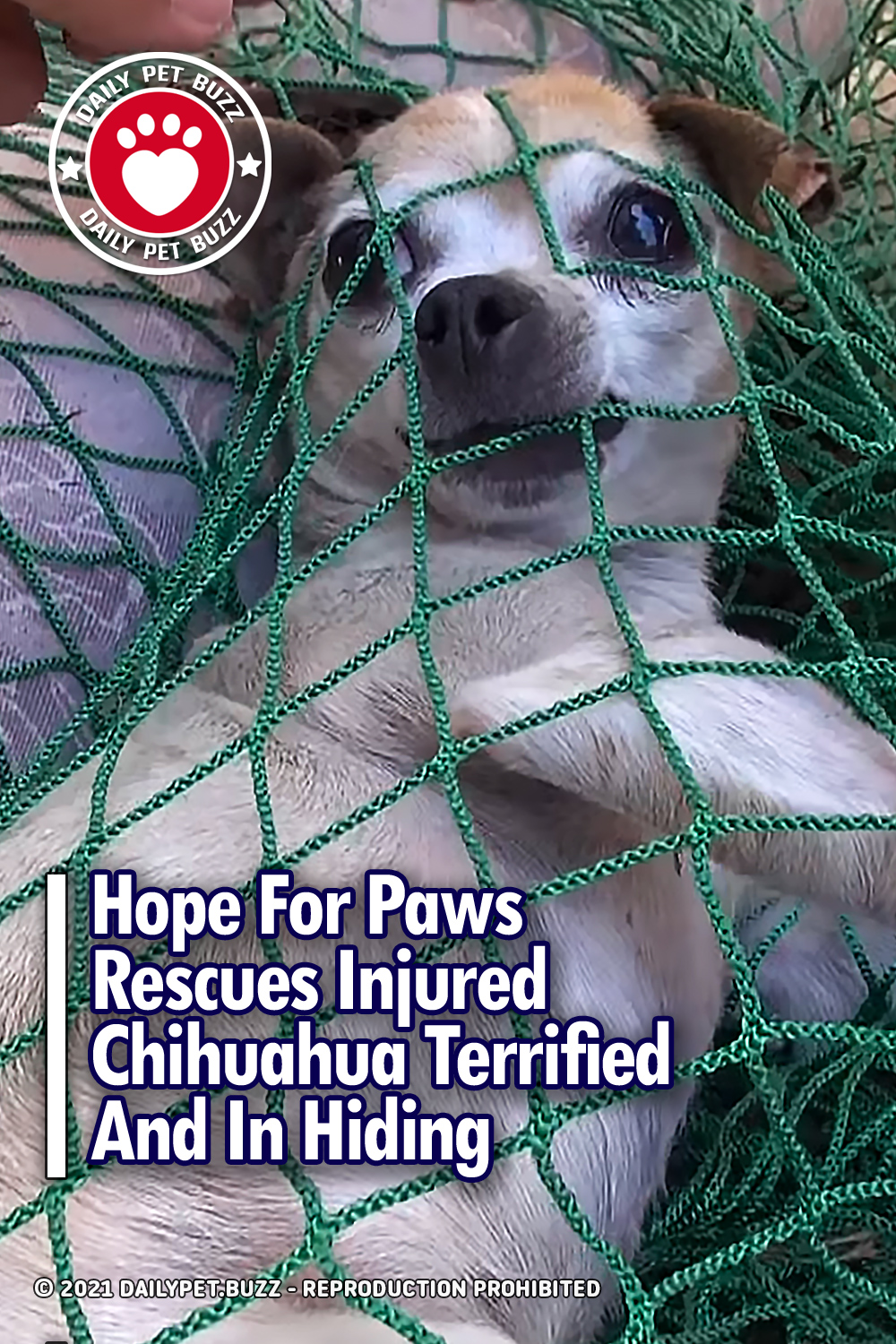Hope For Paws Rescues Injured Chihuahua Terrified And In Hiding