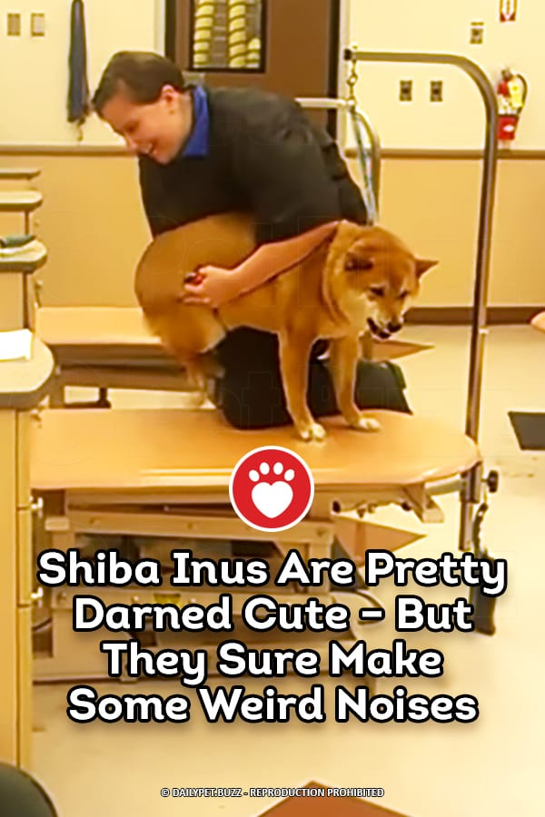 Shiba Inus Are Pretty Darned Cute – But They Sure Make Some Weird Noises