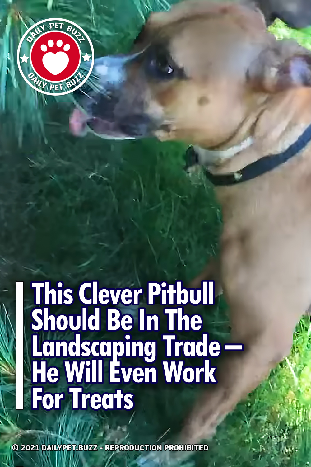 This Clever Pitbull Should Be In The Landscaping Trade – He Will Even Work For Treats