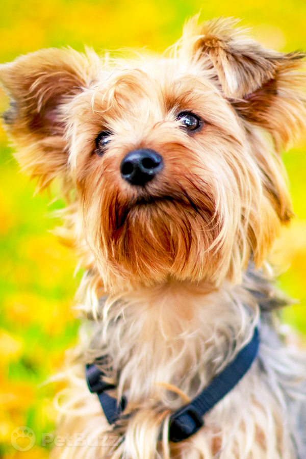 21065 Pinset Baby Girl Meets Her New Yorkie Puppy And The Video Is Melting Everyone's Hearts