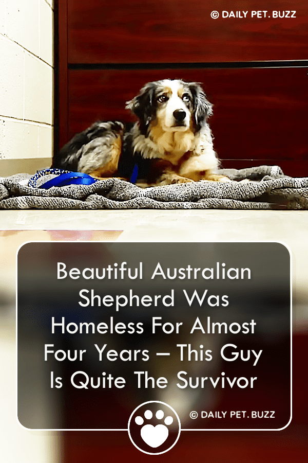 Beautiful Australian Shepherd Was Homeless For Almost Four Years – This Guy Is Quite The Survivor