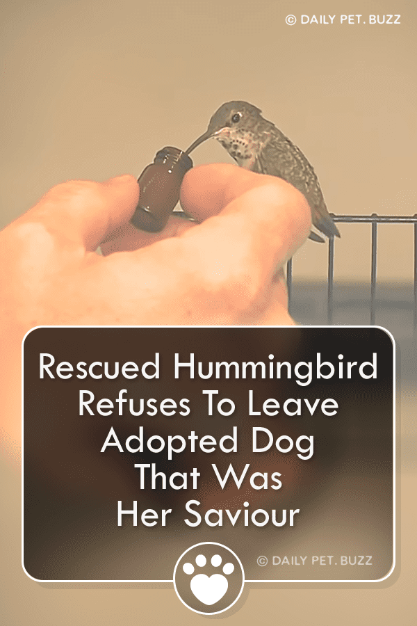 Rescued Hummingbird Refuses To Leave Adopted Dog That Was Her Saviour