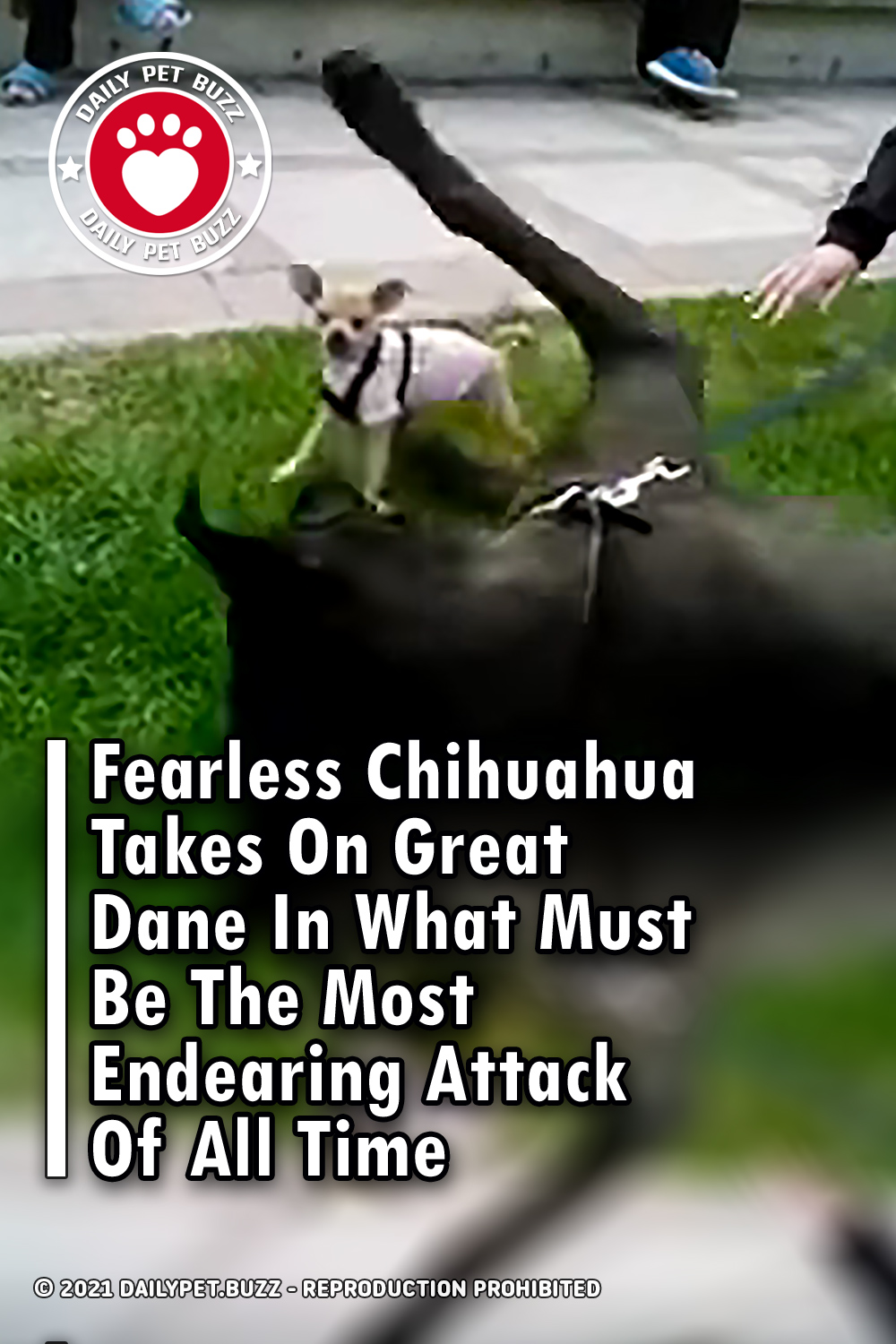 Fearless Chihuahua Takes On Great Dane In What Must Be The Most Endearing Attack Of All Time