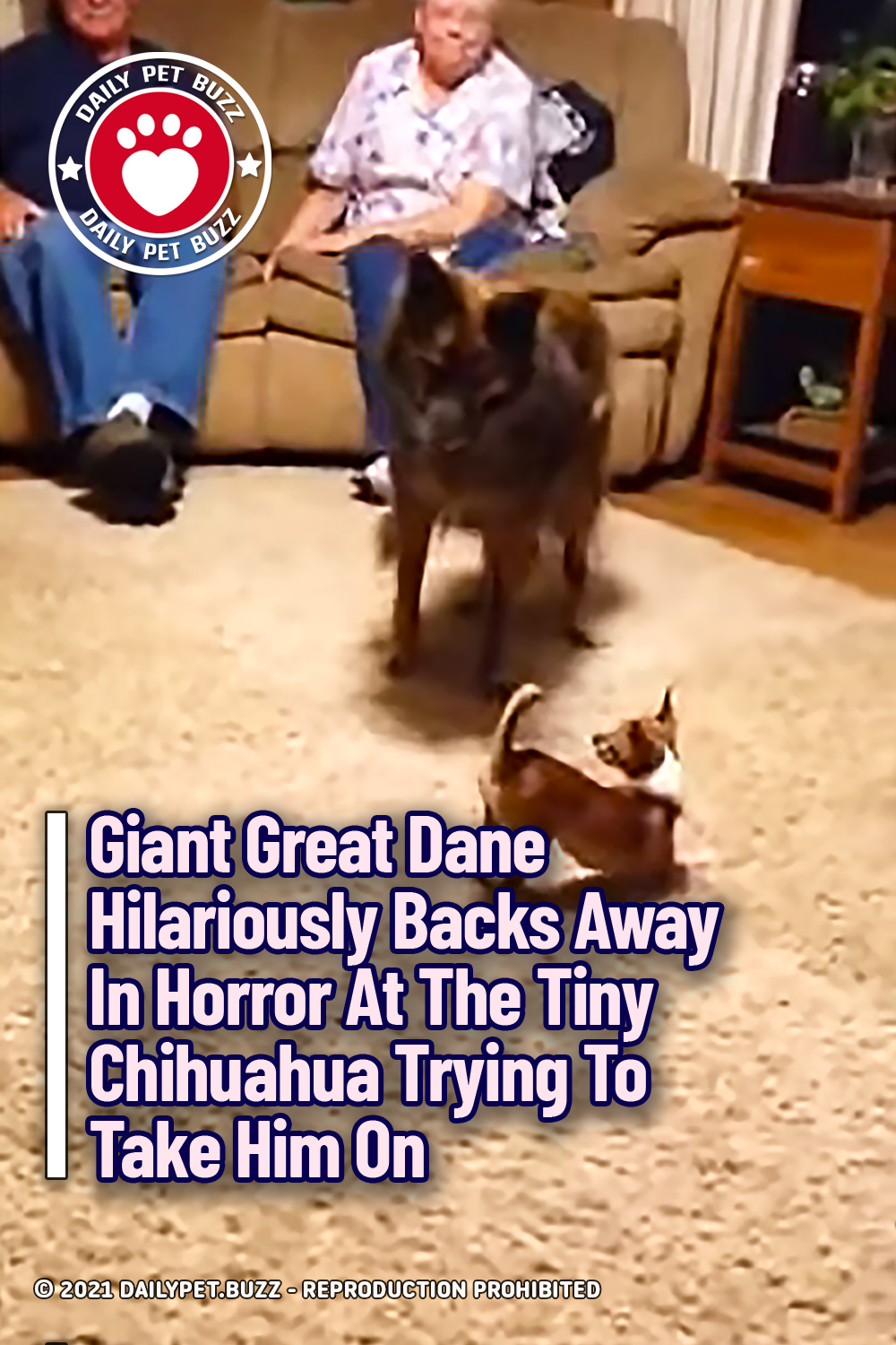 Giant Great Dane Hilariously Backs Away In Horror At The Tiny Chihuahua Trying To Take Him On